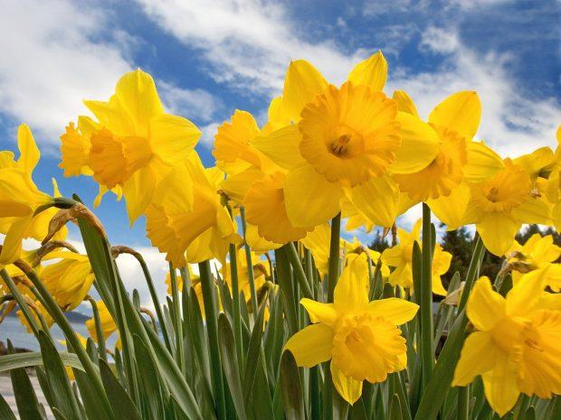 Daffodil Wallpaper for Desktop.
