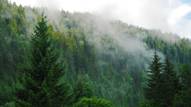 Foggy Pine Forest Wallpaper Downloads.