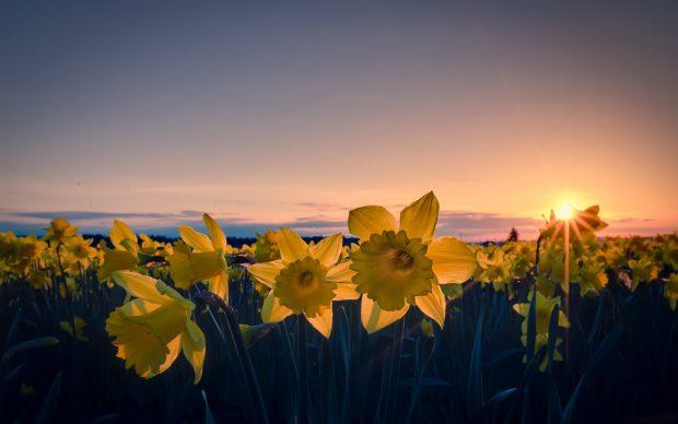 Free Daffodil Image.
