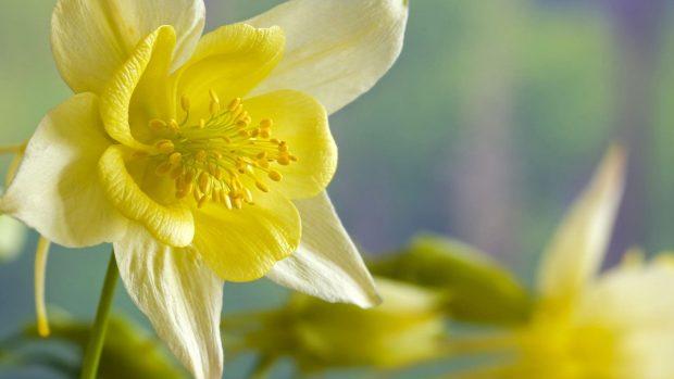 HD Daffodil Wallpaper.