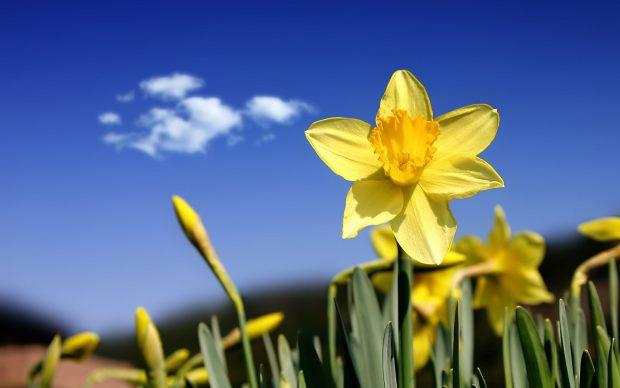 High Resolution 1920x1200 Daffodil.