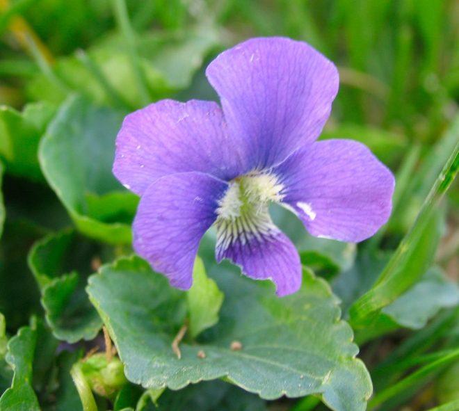 Violet leaf - learn about violets on pixiespocket.com!