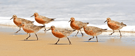 Image result for red knots