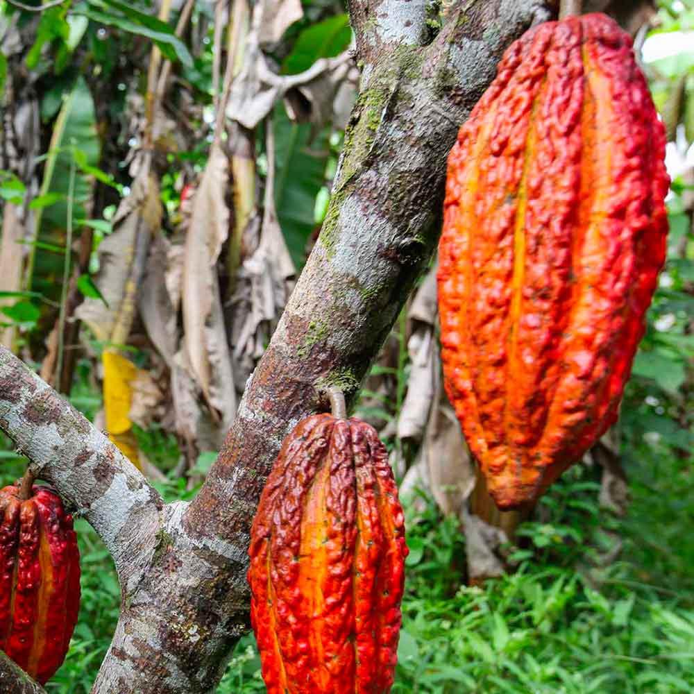 Inizia il lungo viaggio che trasformerà il cacao in cioccolato