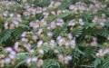 Albizia Julibrissin Giardini di Via Nazionale