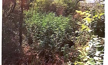La marajuana spunta cone i funghi. Sequestrate altre due coltivazioni