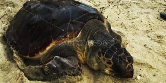Pizzo, tartaruga ferita da un amo salvata dai bagnanti a Colamaio