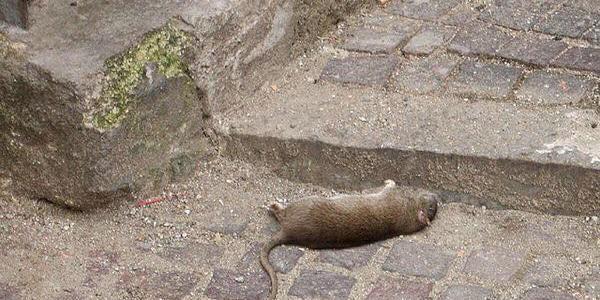 Terrore a Piscopio, la frazione invasa da un esercito di topi – Zoom24