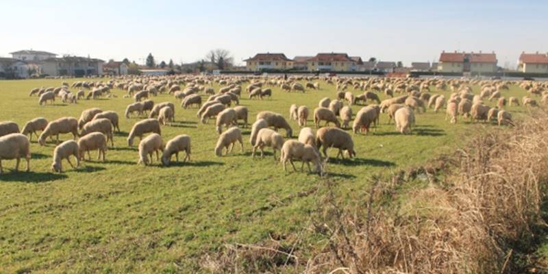 Pascolo abusivo in terreno privato, denunciati due pastori a Maierato