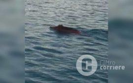 I cinghiali nuotano nel mare di Pizzo – VIDEO – Corriere della Calabria