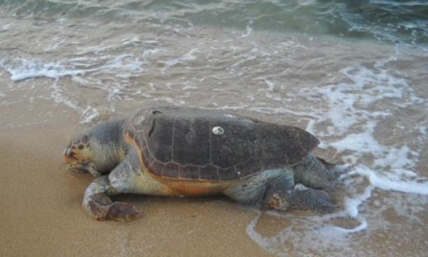 Ennesima carcassa di tartaruga marina rinvenuta sul litorale di Pizzo, era deceduta da diversi giorni – Zoom24