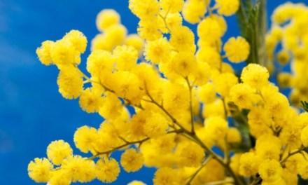 Capistrano. Mimosa per dipendenti comunali ed insegnanti: il gesto dell'Amministrazione comunale – Il Meridio