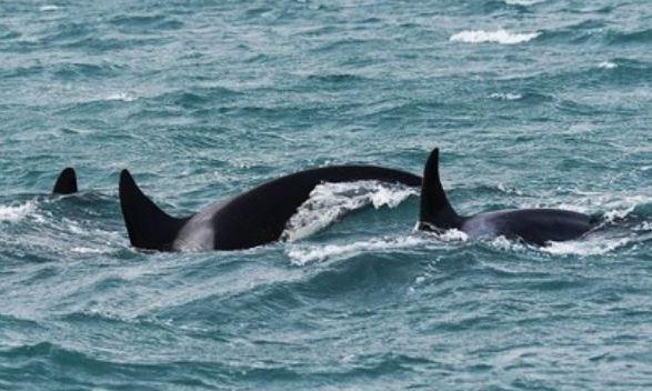 Orche avvistate nello Stretto di Messina: il video
