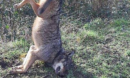 Lupo ucciso e appeso a un cartello stradale: macabra scoperta nel Vibonese