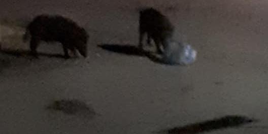 Cinghiali a spasso in pieno centro a Vibo, scatta l'allarme dei residenti