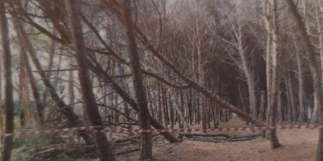 Pizzo. Tagliati sei pini marittimi nella zona di Colamaio