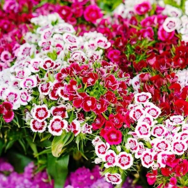 Sweet Williams/Dianthus Mix Flowers Seeds