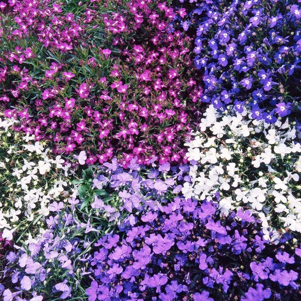 Lobelia Mix Flowers Seeds