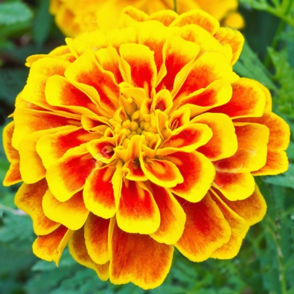 French marigold yellow flowers seeds