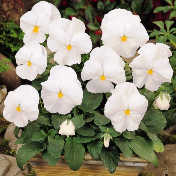 Pansy/Viola White Flowers Seeds