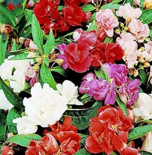 Balsam Mix Flowers Seeds