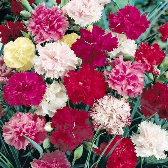 Carnation Tall Mix Flowers Seeds