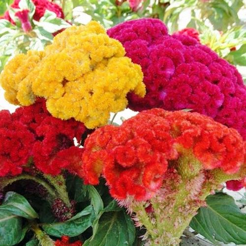 Coxcomb/CelosiaTall Mix Flowers Seeds