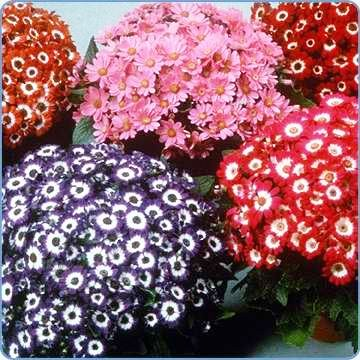 Cineraria Mix Flowers Seeds