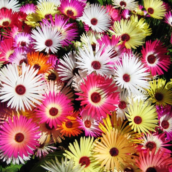 Messembry Mix Flowers Seeds