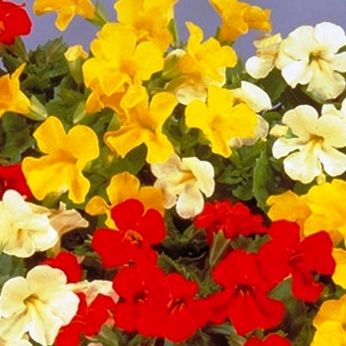 Nemesia Mix Flowers Seeds