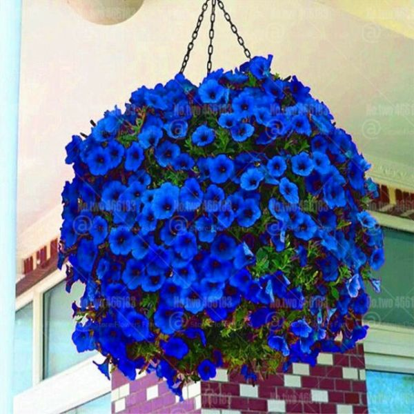 Petunia Hanging Blue Flowers Seeds