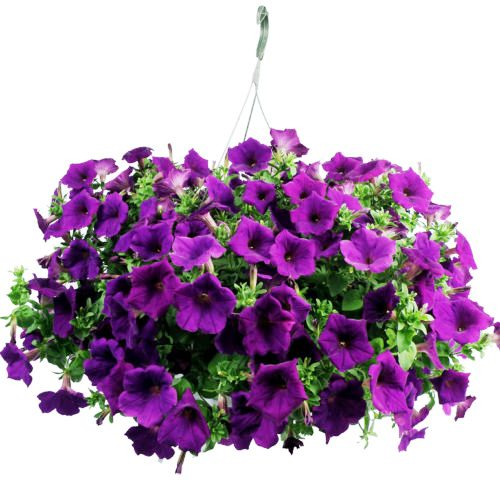 Petunia Hanging Purple Flowers Seeds