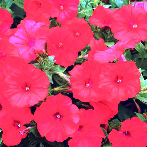 Petunia Rose Flowers Seeds