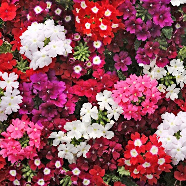 Verbena Mix Flowers Seeds