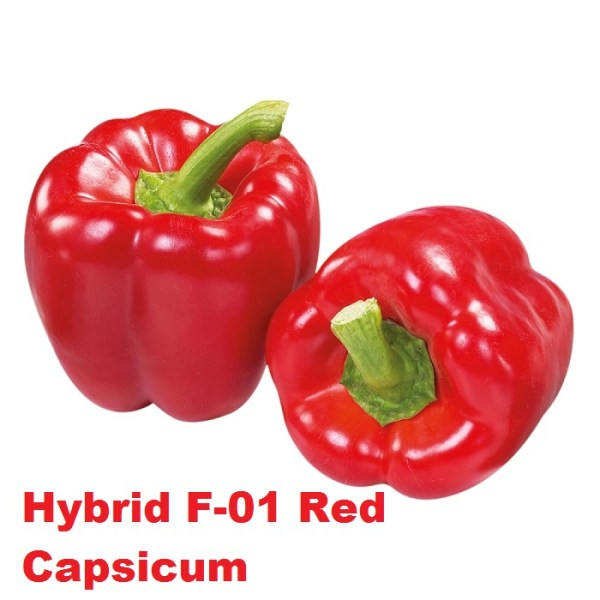 Hybrid F-01 Red Shimla Mirch Seeds