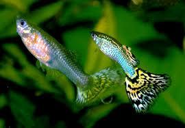 Guppys en aquarium