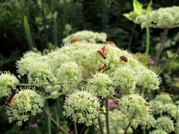 Coccinelle asiatique (Harmonia axyridis) Téléphore fauve (Rhagonycha fulva) Berce commune (Heracleum sphondylium)