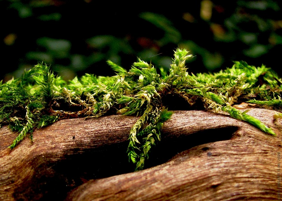 Eurynchie striée Eurynchium striatum