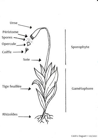 schéma bryophyte