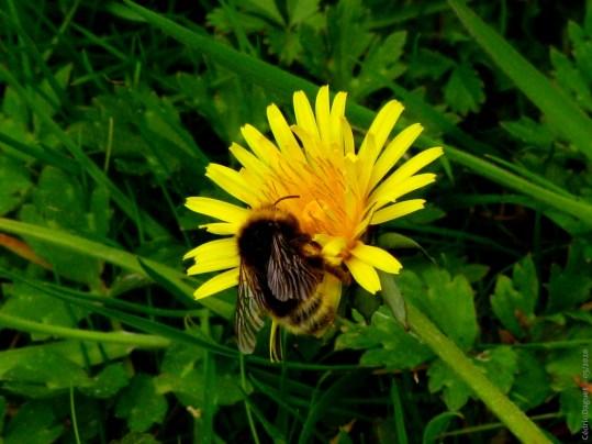 Fleur pissenlit bourdon Bombus
