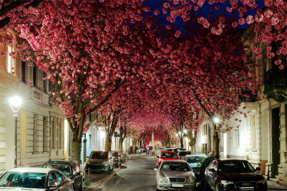 Vivid Cherry Blossom Avenue in Bloom, Germany