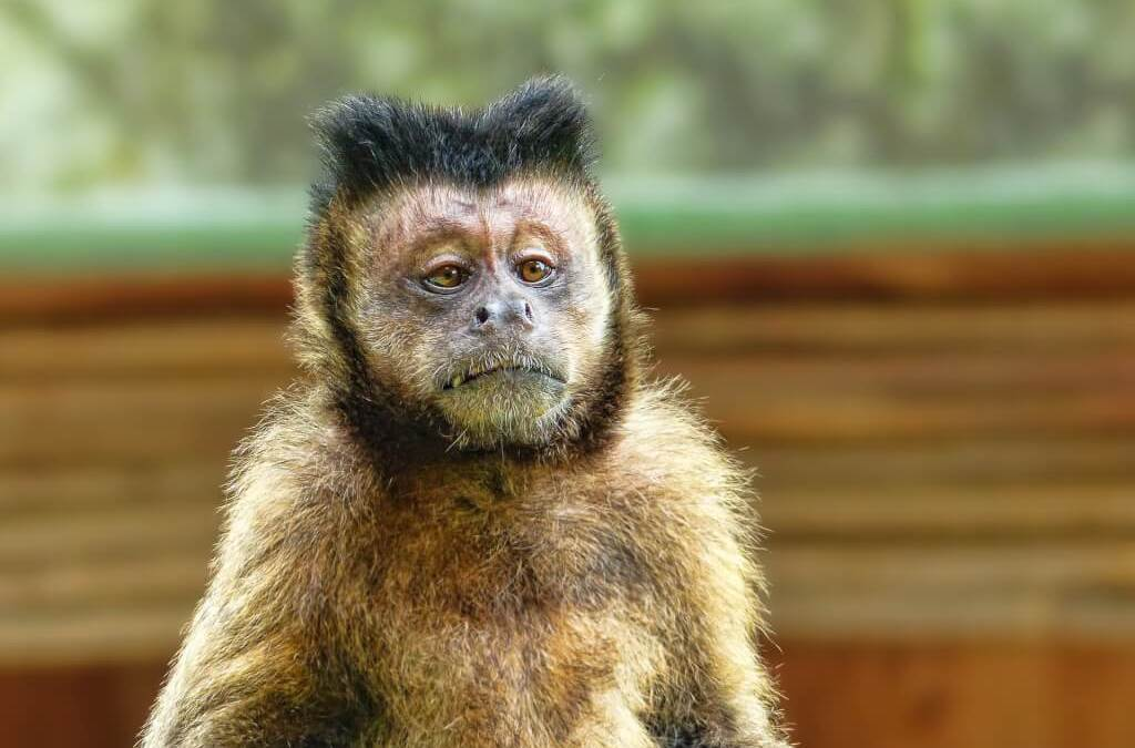 Affe im Kopf