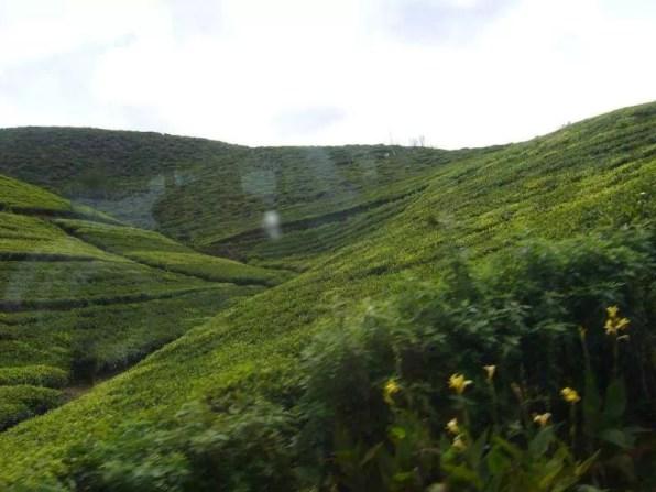 Cejlonský čaj je na Srí Lance pěstován po staletí