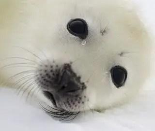foca-llora