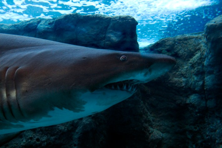 tiburones mueren asfixia curiosidades