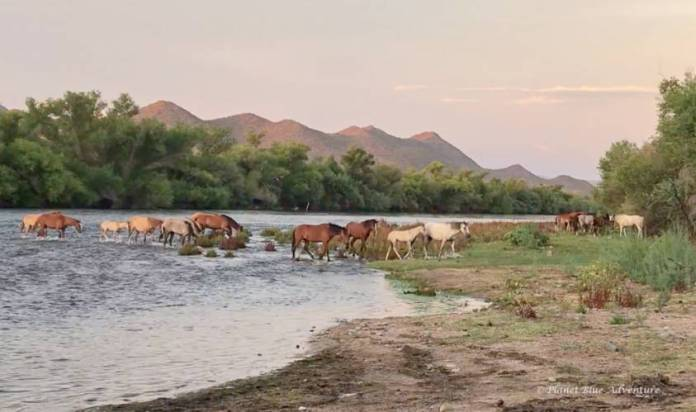 Summer in Phoenix Salt River Wild horses