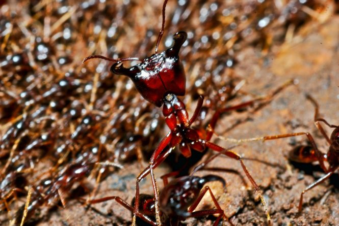 Driver Ants Are Nomadic