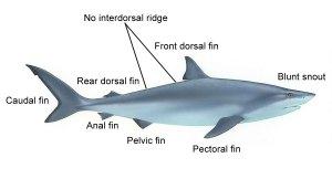 Bull Shark Facts | Pla Deadly