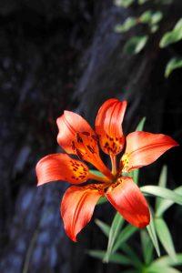 Wood Lily ©Catherine Pawasarat