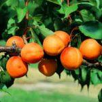 abricots-juin-sud